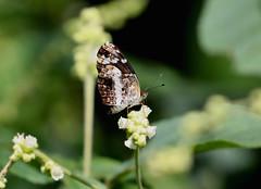 White-dotted Crescent --- Castilia ofella (creaturesnapper) Tags: xandariresort lepidoptera butterflies costarica nymphalidae whitedottedcrescent castiliaofella