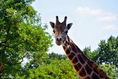 DSC_6499_2.2_reduziert_komprimiert (patric.gangler) Tags: giraffe zoo saarbrücken tierfotografie animalsphotography nikonfotografie nikonphotography nikonphotographers systemkamera dslm nikon1photography 1nikkorvr10100mmf4056 nikon1j3