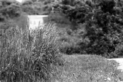 Grass Tuft on Hill with Path (pmvarsa) Tags: summer 2018 june analog bw blackandwhite film 135 ilford ilfordfp4plus fp4 fp4plus 125iso nikonsupercoolscan9000ed nikon coolscan manfrotto sekonic cans2s pentax spotmatic pentaxspotmatic classic camera takumar 300mm telephoto knowledge teaching education passonknowledge knowledgetransfer outdoor neighbourhood path hill grass trail trees scratch waterloo ontario canada