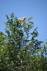 Are They Still Here? (eyriel) Tags: bird redtailedhawk nature wildlife tree treetop sky birdofprey