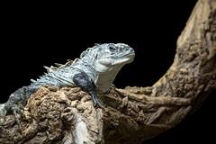 Iguana at Paignton Zoo (Katie P Photography) Tags: reptile reptiles zoo paignton paigntonzoo iguana