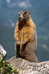 Say hey (Bill Bowman) Tags: yellowbelliedmarmot marmotaflaviventris southernrockymountains jamespeak colorado