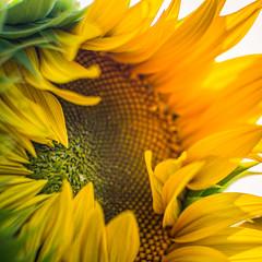 L'éveil (alexiscrozier1) Tags: sunflower flower nature photo passion amateur serie photographique jaune