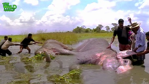 The elephant shot in the leg being treated by kind people