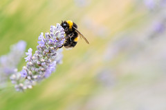 Busy as a bee (sarah_presh) Tags: bee bumblebee flower macro lavender summer pastel colours garden outdoor nikond750 nikon105mm abstract bokeh