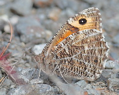 Greyling (Hipparchia Semele) (briangriffiths673) Tags: butterfliesoutdoors bog