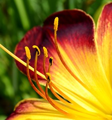 An Invitation (pjpink) Tags: flower daylily blooming lewisginterbotanicalgardens lewisginter lewisginterbotanicalgarden northside rva richmond virginia june 2018 summer pjpink 2catswithcameras