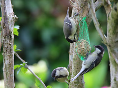 Periparus ater (roland_tempels) Tags: periparusater zwartemees
