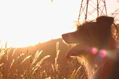 Thot (albert.brch) Tags: sunset sunshine thot portrait dog bright brightness bordercolliemix adoptdontshop mountain