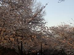 P3242887 (Dr. Fieldgood) Tags: washington dc national cherry blossom festival spring flowers mall
