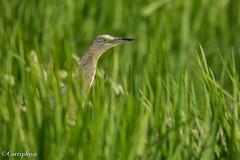 Garcilla Cangrejera, Squacco Heron (Ardeola ralloides) (Corriplaya) Tags: garcillacangrejera squaccoheron ardeolaralloides corriplaya aves birds