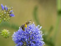 P6260069 (turbok) Tags: bienenundhummeln insekten tiere c kurt krimberger