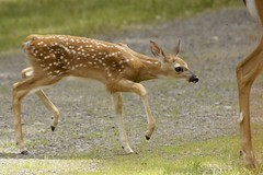 Fawn Keeping Up With Mama (GraceInTheWinds) Tags: wilddeer wildanimal babyanimal cute whitetaildeer whitetail youngdeer babydeer deer fawn
