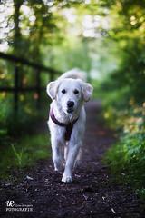 WALK (ulfs-fotoart.de) Tags: dogs hundefotografie tierfotografie fotograf golden retriever goldie