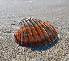 sea shell (anubishubi) Tags: shell seashell muschel herzmuschel strand beach andalusien andalucia spanien spain lumixtz101