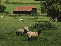 kummerspeck (↟ ↟ ↟) Tags: barn countryside hambleden sheep animals domesticanimal homestead pasture rustic rural simplelife slowliving