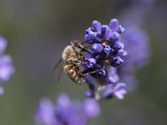 hardworking bee (PLADIR) Tags: bee biene macro makro tamron sony a77 slta77ii lavendel outdoor insekt insect