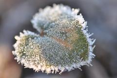 DSC_9409-10 (bromand) Tags: flower outdoor nikon d90 nikond90 105mmf28 sigma105mmmf28 geotagger solmeta solmetan1 geotaggersolmetan1ice