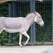 Oh warum legt der Somali Esel denn die Ohren an