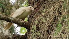 Record shot of White Common Raven (Corvus corax) - Coombs, BC (bcbirdergirl) Tags: commonraven leucistic blueeyes leucism whitecommonraven whiteraven bc coombs vancouverisland rare spiritanimal spiritual firstnations coastsalish raven corvid recordshot