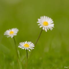 Et 1, et 2, et 3 ....... ! (thierrymazel) Tags: flowers paquerettes daisy blossom spring printemps bokeh pdc dof profondeurdechamp