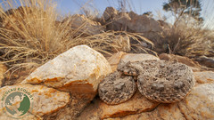 Bitis caudalis - Horned Adder (Nicolauecology) Tags: bitis caudalis horned adder magaliesburg gauteng south africa venomous snakes snake reptiles reptile herp herpetology herping macro canon wide angle laowa wildlife travel explore nature conservation gary kyle nicolau ecology
