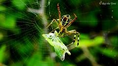 Packing Breakfast (Raj the Tora) Tags: signaturespider spider spiders spiderweb spiderprey spidercamouflage arachnid arachnidae arachnids venom venomous venomousspiders spidervenom spidersilk silk araneidae argiopeanasuja argiope anasuja