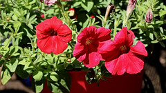 Red Petunias Macro (hbickel) Tags: red petunias canont6i canon photoaday pad
