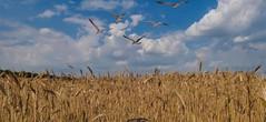 La Campagne - 5506 (ΨᗩSᗰIᘉᗴ HᗴᘉS +18 000 000 thx) Tags: nature clouds campagne hensyasmine namur belgium europa aaa namuroise look photo friends be wow yasminehens interest intersting eu fr greatphotographers lanamuroise tellmeastory flickering