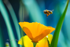 Bee captured leaving a poppy all loaded up (Malcom Lang) Tags: bokeh blue green yellow flower poppy pollen wax insect bee leaf stem garden pollination canoneos6d canon canon180mm macro mallangphotography mal lang photography macrodreams ag