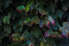 Purple Leaves (katyearley) Tags: summer texas 55mm canonrebelt6 foliage contrast dark green purple leaves