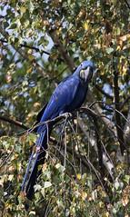D81_12622 (charlesvanlangeveld) Tags: rotterdam diergaardeblijdorp zoo dierentuin natuur nature birds vogels blijdorp parrot