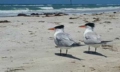 Just the Two of Us (ColFineArtistMar1) Tags: nature photgraph birds shore beach ocean sand water two beauty clearwater daytime expressive florida inspiration life outdoors perspective peaceful relaxing serene scenery tourist view