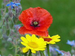 Red, Yellow and Black (Marit Buelens) Tags: red yellow black blue green colour poppy flanders papaver klaproos borageblue