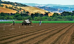 Pretty Setting (Michael T. Morales) Tags: agriculture salinasvalley farm plant cultivation rowfarm green