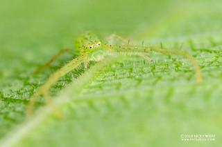 Green crab spider (Oxytate cf. ribes) - DSC_6039