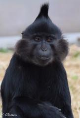 Crested Mangabey (pclaesen) Tags: mangabey primate primates zoo dierentuin nederland netherlands nikon nikond5300 crestedmangabey kuifmangabey nikonphotography beeksebergen safariparkbeeksebergen animal animals animalphotography sigma sigmalens sigma150600mm sigma150600 contemporary