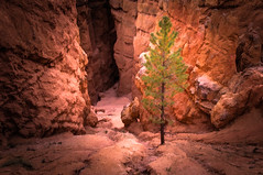 Canyon Gorge - Textured (byron bauer) Tags: byronbauer bryce canyon amphitheater gorge hoodoo formations red rock wall dawn sunrise lone lonely tree erosion sedimentary strata color landscape painterly texture nationalpark utah topaz simplify aoi elitegalleryaoi bestcapturesaoi