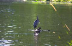 IMG_1097 (aschroeder79) Tags: greatblueheron heron bird wildlife
