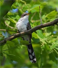 Yellow-Billed Cuckoo (nomoredarkroom) Tags: yellowbilledcuckoo pennsylvania birdshare