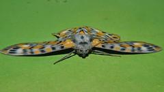 Hiding low from Gecko P1350643 (Steve & Alison1) Tags: josephs moth bracca rotundata geometridae 60mm wingspan 24mm long airlie beach rainforest