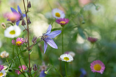 The colours of summer (hehaden) Tags: flowers daisy summer bordehill haywardsheath sussex erigeron erigeronkarvinskianus sel90m28g