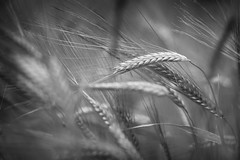 Barley (aveyardphotography) Tags: barley crop farming rural mono monochrome blackandwhite black white close canon ears nature dark simple countryside shallow focus june north yorkshire