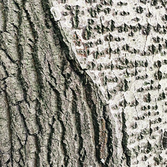 Birke (Paul und Lotte) Tags: baum stamm baumstamm rinde struktur abstract abstrakt tree trunk bark structure birke birch