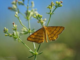 Goldgelber Magerrasen-Zwergspanner (Idaea aureolaria) Männchen