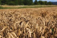 È tempo di.. (cosimocarbone) Tags: gorizia lucinico friuliveneziagiulia italy paesaggi landscape estate grano mietitura campo