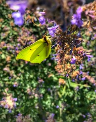 Like butterflies  in the sun ☀ this summer feeling is getting better. (maurice71) Tags: butterflies hiking geocaching nature summerfeeling streamzoofamily friend special hdr limburg netherlands canon