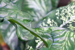 Feuillage du jardin (Christian Chene Tahiti) Tags: canon 6d paea tahiti flore jardin macro nature frenchpolynesia polynésie vert blanc green foliage feuillage pf polynésiefrançaise polynesia extérieur plante motif motiforganique végétal feuille leaf