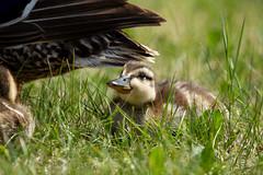 IMG_1813-2 (d_propp) Tags: lake beaumaris mallard duck