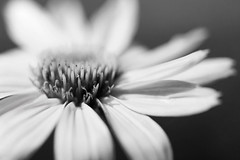 Bloom (Joe_R) Tags: flower coneflower echinacea bw macro nature macrounlimited blackandwhite blackwhite skancheli